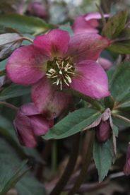 Helleborus × hybridus