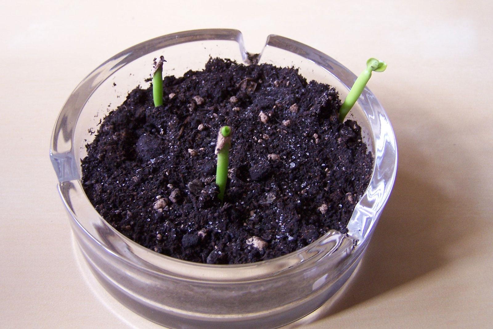 Wüstenrose Samen